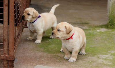 Average Price For Golden Retriever Puppy Goldenretriever