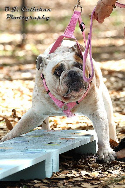 Is Your French Bulldog Driving You Crazy Remove All The Stress Of