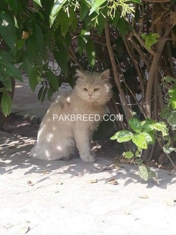 Beautiful Cat For Sale Sargodha Cats For Sale Beautiful Cat Cats