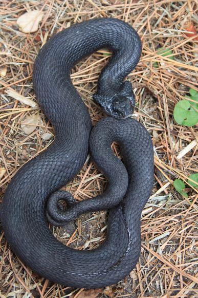Melanistic Black Phase Eastern Hognose Snake Heterodon Platirhinos Hognose Snake Snake Terrarium Pet Snake