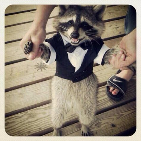 raccoon in a tuxedo! what more do you need?! | raccoon | cute animals | baby animals | animals in people clothes