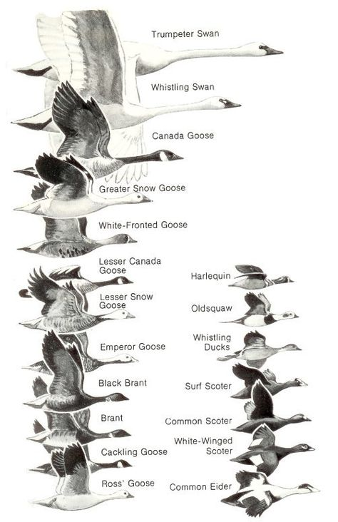Book from Project Gutenberg: Ducks at a Distance: A Waterfowl Identification Guide Waterfowl Hunting, Duck Hunting, Turkey Hunting, Hunting Birds, Coyote Hunting, Pheasant Hunting, Duck Identification, Migratory Birds, Game Birds