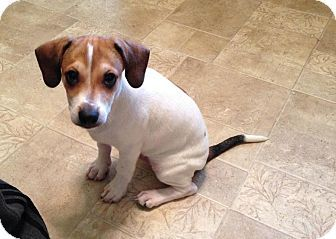Chicago Il Jack Russell Terrier Beagle Mix Meet Doser A Puppy