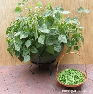 How To Grow Great Green Beans In Containers Green Beans Garden Green Bean Seeds Planting Green Beans