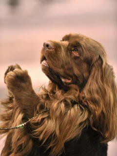 Sussex Spaniel...precious, looks like he is praying.