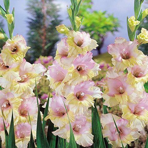Gladiolus Mon Amour 40 Flower Bulbs Bulbsdirect Http Www Amazon Com Dp B00tqph9eu Ref Cm Sw R Pi Dp Knyqvb1aypf8y Bulb Flowers Gladiolus Plants
