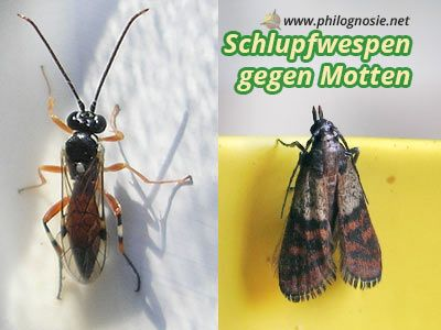 Motten Loswerden Schlupfwespen Gegen Motten Lebensmittelmotten Kleidermotten Schlupfwespen Kleidermotten Lebensmittelmotten