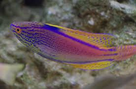 Purple Line Fairy Wrasse Cirrhilabrus Lineatus Google Search Wrasse Purple Line Fish Pet