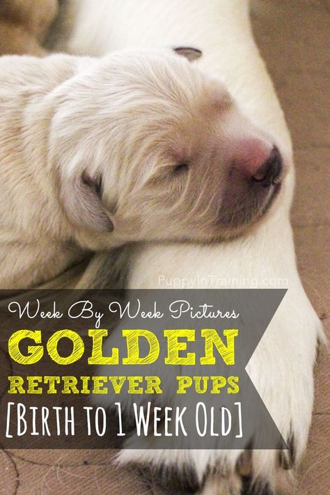 Golden Retriever Puppy Growth Week By Week Pictures Hunde