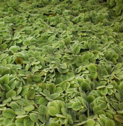 Rosette Water Lettuce Pistia Sp In 2020 Floating Pond Plants Pond Plants Plants