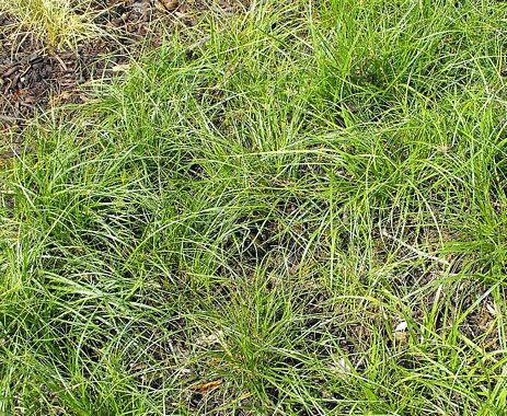Sand Dune Sedge Sand Dune Sedge Plant Photos California Plants Plant Images Plants
