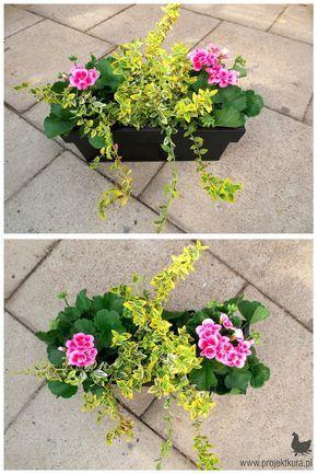 Kompozycja Roslin Na Balkon Sloneczny 1 Pelargonia Rabatowa 2 Trzmielin Container Gardening Flowers Container Gardening Balcony Plants