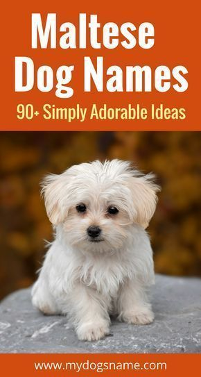 The Ultimate List Of Maltese Dog Names Discover 90 Adorable Playful And Fun Ideas For Your New Fluffy Furbaby Maltese Dogs Dog Names Maltese Puppy Care