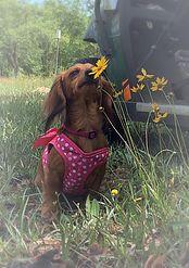 Davis Darling Doxies North Florida Puppies Florida Dachsunds