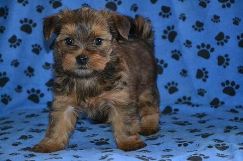 Yorkie Shih Tzu Mix Puppies For Sale Zoe Fans Blog Shorkie
