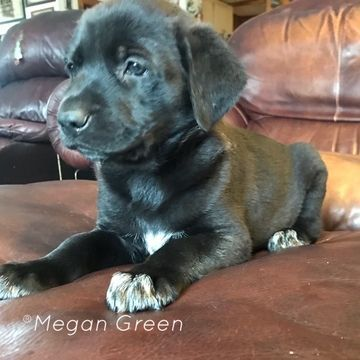 German Shepherd Dog Great Dane Mix Puppy For Sale In Rogersville