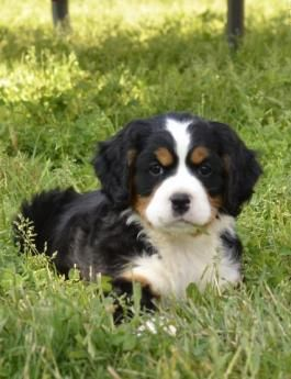 Puppies For Sale All Breeds Lancaster Puppies Mini Bernese Mountain Dog Lancaster Puppies Puppies For Sale