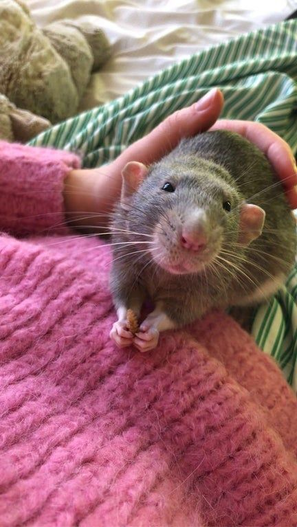 My First Post On Reddit Ever Here Is Josef Rats In 2020 Pet Rats Koala Bear Pets