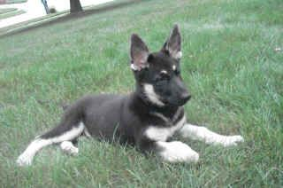 Black And Silver German Shepherds Rare Black And Silver German