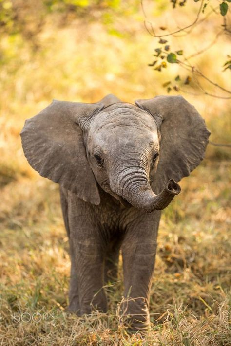 Baby elephant in Botswana . - Alexandra Hausmann - Baby elephant in Botswana . Baby elephant in Botswana More - Photo Elephant, Cute Baby Elephant, Elephant Pics, Elephant Stuff, Elephant Quotes, Happy Elephant, Funny Elephant, Baby Rhino, Baby Elephant Pictures