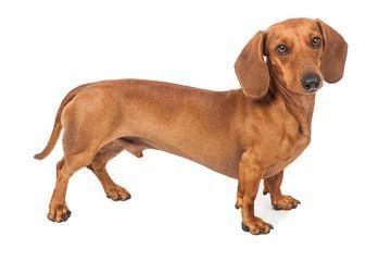 Dachshund Dog Isolated Over White Background Dachshund Dog Dogs