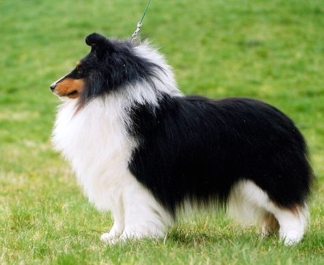 Pin By Archie Taylor Keen On Shelties In 2020 Shetland Sheepdog Shetland Sheepdog Blue Merle Sheltie Dogs