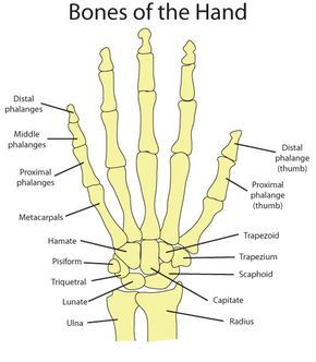Hand Bone Anatomy News Information Hand Bones Anatomy Functions Diagram Body Maps There Are Anatomy Bones Human Anatomy And Physiology Human Body Anatomy