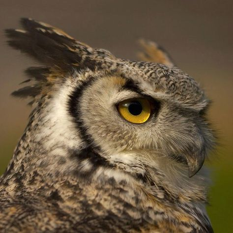 Horned Owl - What a majestic face!