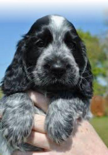 Blue Merle Cocker Spaniel Spaniel Puppies Black Cocker Spaniel Puppies Springer Spaniel Puppies