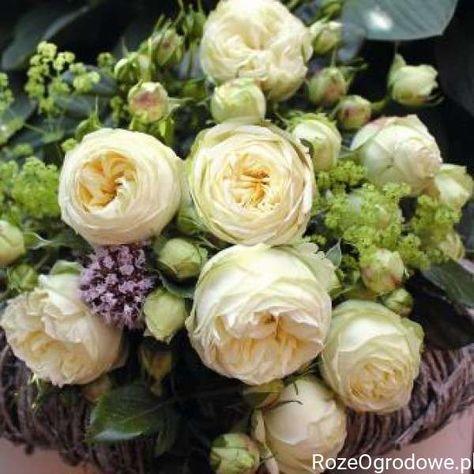 Róża wielkokwiatowa WEDDING PIANO® RozeOgrodowe.pl