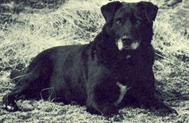 36 Extinct Dog Breeds Part 2 Dog Breeds St Johns Dog Dogs