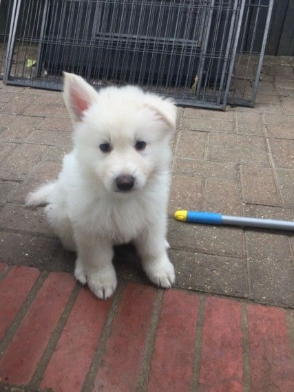Kuwait Dogs And Puppies Adoption And Sales Email Us At Khaleelsalafi Hotmail Com 6 Stunni German Shepherd Puppies Puppies For Sale Goldendoodle Puppy For Sale