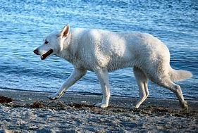 Wolf White German Shepherd German Shepherd Pictures Pet