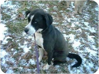 Cincinnati Oh Husky Border Collie Mix Meet Trudy A Dog For