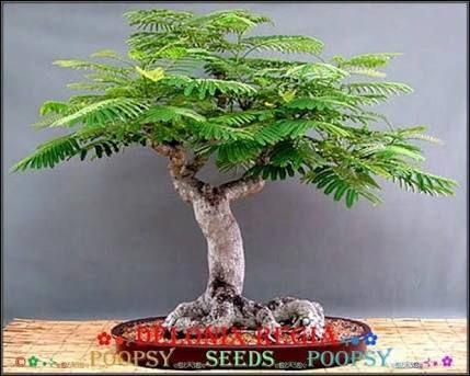 Image Result For Jacaranda Bonsai Indoorbonsaitrees Bonsai Tree Flowering Bonsai Tree Bonsai Tree Care