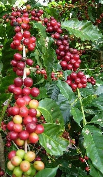 Coffee Beans On Stalk Coffee Bean Tree Types Of Coffee Beans