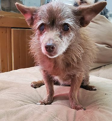 Dallas Tx Chihuahua Meet Edna A Pet For Adoption In 2020 Pets Pet Adoption Chihuahua