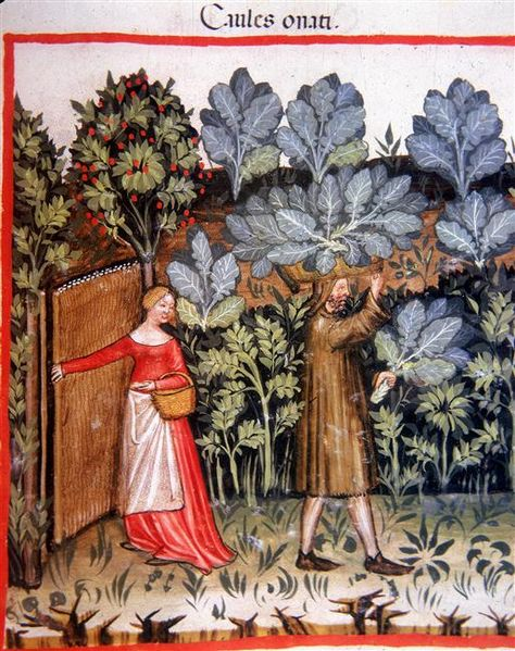 Harvesting Cabbage.