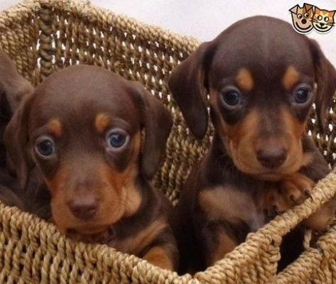 Chocolate and Tan Miniature Dachshund Puppies | Nelson, Lancashire | Pets4Homes #puppy #Labrador #dog