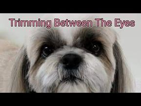 How To Groom Your Dog At Home Shih Tzu Haircuts Dog Grooming Shih Tzu Grooming