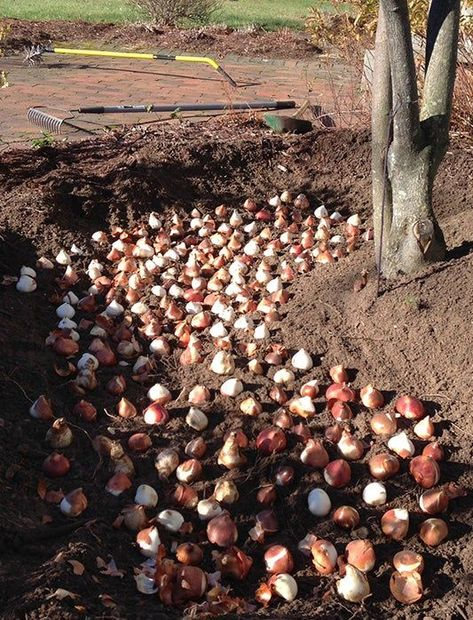 Quick & Easy Trench Planting For Fall Bulbs Trench Planting: Tulips Garden Inspiration, Plants, Garden Bulbs, Tulips Garden, Yard Landscaping, Outdoor Gardens, Fall Bulbs, Garden Planning, Garden Design