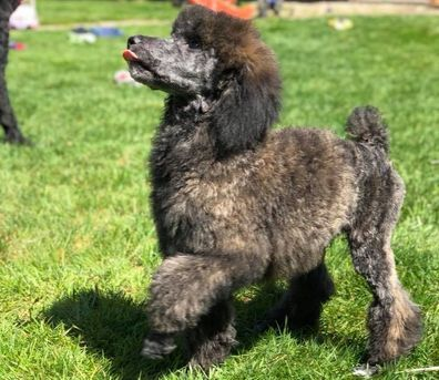 Available Puppies Laurel Hills Poodles Poodle Puppies