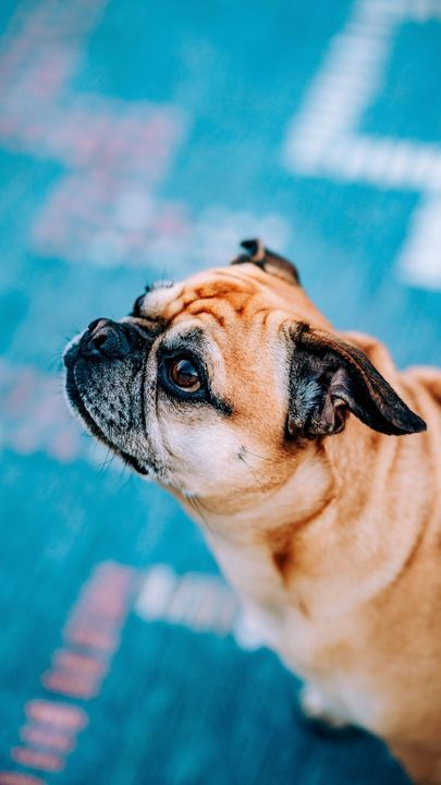The Latest Iphone11 Iphone11 Pro Iphone 11 Pro Max Mobile Phone Hd Wallpapers Free Download Pug Dog Glance Profile Free Puppy Dog Images Dog Foto Dogs Dog photos hd wallpaper download
