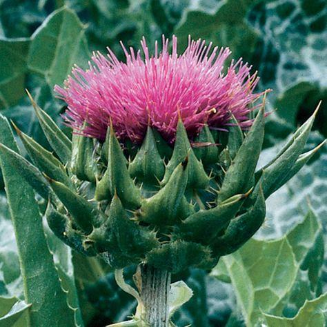 Scottish Thistle Herb Seeds 50 Seeds