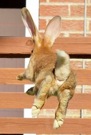 Pin By Usakuma On Flemish Giant Bunnies Cute Animals Baby Bunnies Small Pets