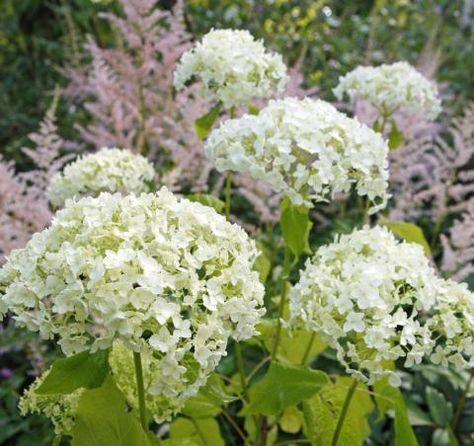 Schneeballhortensie Strauchhortensie In The Garden 2 Hortensien