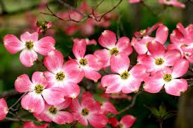 Flowering Dogwood ( Cornus florida ) is currently in peak bloom at Powell Gardens. Powell Gardens has an extensive collection of dogwoods, .
