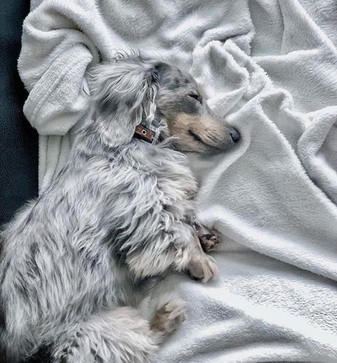 """Acquire fantastic pointers on """"dachshund puppies"""". They are actually accessible for you on our internet site. Dachshund Breed, Dachshund Funny, Long Haired Dachshund, Dachshund Love, Long Hair Daschund, Dapple Dachshund Puppy, Brown Dachshund, Weenie Dogs, Pet Dogs"""