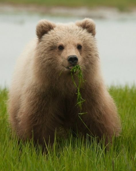 Brown bears are at the top of the food chain and will eat almost anything!  The cubs will spend 2 1/2 years with their mother before they are ready to live on their own.