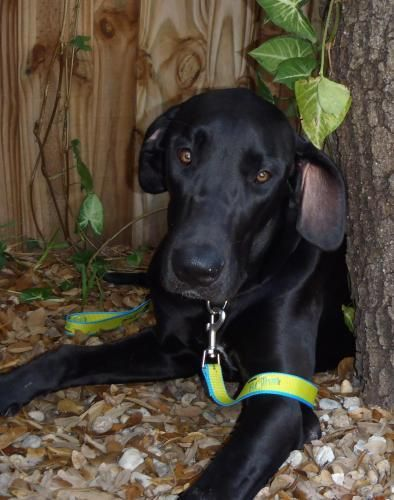 Sweetie+-+great+dane+rescue+dog+for+adoption+in+Bradenton,+Florida,+United+States
